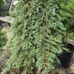 Juniperus ICEE BLUE Juniper Topgraft Evergreen