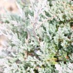 Blue Chip Juniper