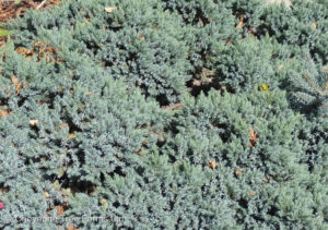 Juniperus squamata BLUE STAR Juniper Evergreen