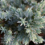 Juniper – Blue Star