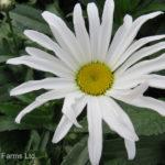Daisy Shasta – Silver Princess