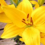 Lily Asiatic – Tiny Bee Dwarf