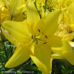 Lily Hybrid – Dazzle