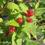 Honeysuckle – Arnold's Red