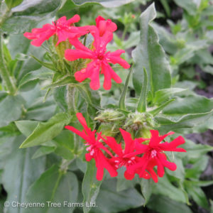 Lychnis chalcedonica MALTESE CROSS Campion Flowering Perennial Tree Nursery, Greenhouse & Garden Centre