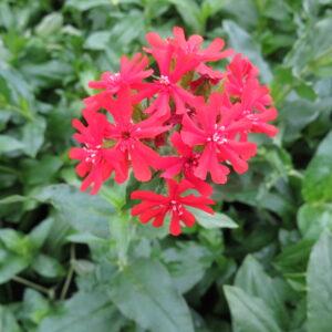 red flowers, hummingbirds, butterflies, beaumont garden centre