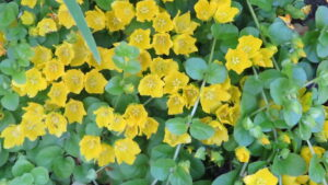 groundcover, yellow flowers, perennials in pots. beaumont greenhouse