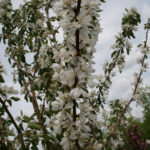 Crabapple – Dolgo