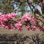 Crabapple – Kelsey Flowering