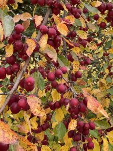 cheyenne tree farms, crabapple, fall colours, shade tree, yeg greenhouse, yeg tree farm, yeg tree nursery, shop leduc