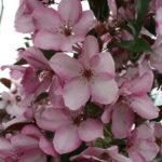 Pink Spire Flowering Crabapple