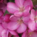 Crabapple Columnar – Purple Spire Flowering