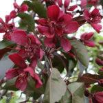 Crabapple – Royalty Flowering