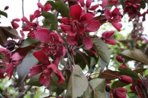 Malus ROYALTY Flowering Crabapple Tree Beaumont, Alberta Edmonton, Alberta Tree Nursery, Greenhouse & Garden Centre