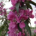 Crabapple – Shaughnessy Cohen Flowering