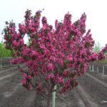 Malus SHAUNESSY COHEN Flowering Crabapple Tree Beaumont, Alberta Edmonton, Alberta Tree Nursery, Greenhouse & Garden Centre