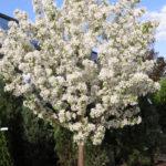 Crabapple – Spring Snow Flowering