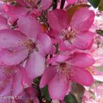 Crabapple – Thunderchild Flowering