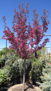 Malus THUNDERCHILD Flowering Crabapple Tree Beaumont, Alberta Edmonton, Alberta Tree Nursery, Greenhouse & Garden Centre