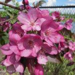 Crabapple – Gladiator™ Flowering