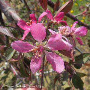 Crabapple Weeping – Royal Beauty  Flowering