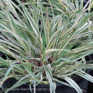 Moor – Variegated Grass