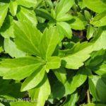 Spurge Japanese – Green Carpet