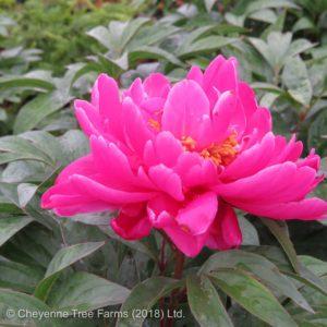 Paeonia KARL ROSENFIELD Peony Flowering Perennial Beaumont, Alberta Edmonton, Alberta Tree Nursery, Greenhouse & Garden Centre