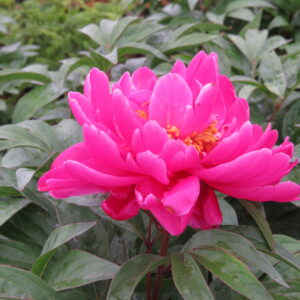 magenta flowers, heirloom perennial, fragrant flowers, beaumont garden centre