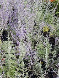 Pervoskia RUSSIAN Sage Perennial Beaumont, Alberta Edmonton, Alberta Tree Nursery, Greenhouse & Garden Centre