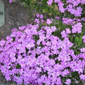 pink purple flowers, groundcover, beaumont leduc, wetaskiwin, camrose