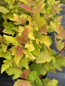 pretty leaves, lime shrub, beaumont, garden centre