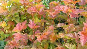 Physocarpus opulifolius 'Jefram' AMBER JUBILEE Ninebark Shrub Tree Nursery, Greenhouse & Garden Centre