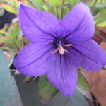 Balloon Flower – Astra Double Blue