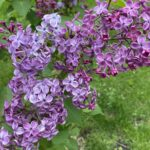 Purple Lilac Hardy Shrub Flowering
