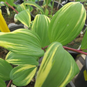 shade plant, variegated leaf, beamont greenhouse