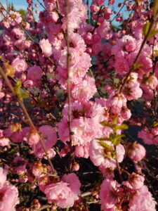 Pink flowers, spring blooming, beaumont, leduc