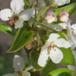 Pear – Early Gold