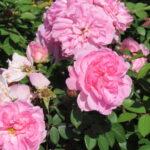 Rose Explorer – John Davis