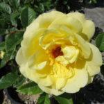 Rose – Rugelda