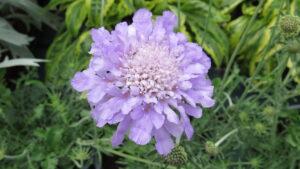 english garden, lavender flowers, beaumont, leduc