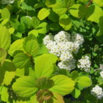 Glow Girl Spirea (PW)
