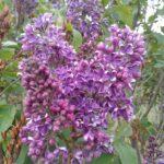 Syringa vulgaris SENSATION French Hybrid Lilac Shrub