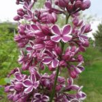 Sensation French Hybrid Lilac