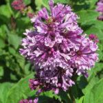 Charisma Lilac
