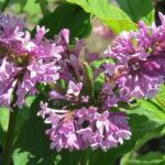 Lilac – Royalty Preston