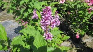 lilac flowers, purple flowers, fragrant flowers