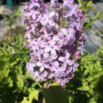 Lilac – Miss Kim  Shrub or Top Graft