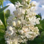 Lilac – Mme. Lemoine