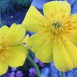 Globeflower – Dwarf